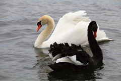 White & black Swans Royalty Free Stock Image