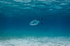 White and Black tailed Permit fish, Trachinotus falcatus, swimming in Caribbean sea Royalty Free Stock Image