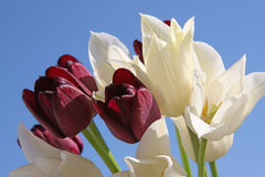 White and black tulips Royalty Free Stock Photos