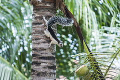 White and Black Variegated Tree Squirrel Royalty Free Stock Images