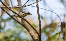 White and Black Warbler on a branch Royalty Free Stock Photo