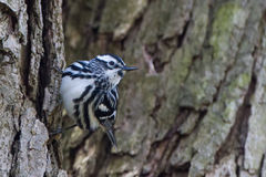 White and Black Warbler Stock Images
