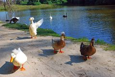 White and black wild crested ducks. On background of the river and beautiful nature stock photos