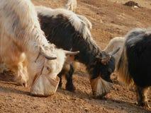 White and black yaks stock image
