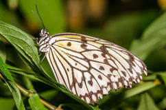 White, Black, and Yellow Butterfly. Gorgeous White, Yellow, and Black Butterfly Stock Image