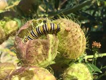 White black and yellow Monarch Caterpillar stock images