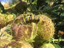 White black and yellow Monarch Caterpillar royalty free stock images