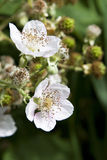 White Blackberry Blossoms. White, with a blush of pink, blossoms for the king of wild fruits, the delicious, Pacific Northwest blackberry Stock Photos