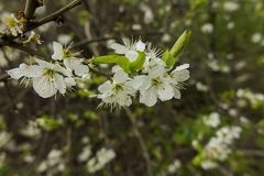 White blackthorn flowers Stock Images
