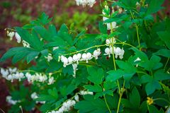 White bleeding heart flowers Dicentra spectabilis Alba in spring garden royalty free stock image