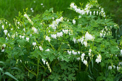 White bleeding heart flowers dicentra spectabilis in spring garden Royalty Free Stock Images