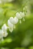 White Bleeding Hearts Flowers In My Garden Stock Photography