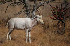 White blesbok (Damaliscus pygargus phillipsi) Royalty Free Stock Image