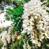 Flowering Acacia Tree. White bloom of akatsi tree at sunset Royalty Free Stock Photo