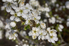 White bloom Stock Image