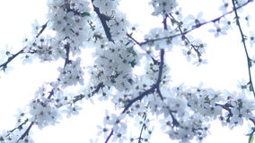 White bloom stock footage