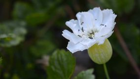 White bloom. Macro footage with beautiful white bloom in the wind stock footage