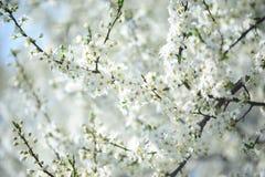 White bloom of plum tree Stock Photos