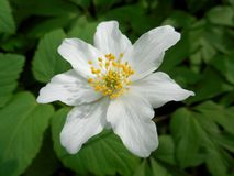 White bloom. Of spring flower Stock Photography