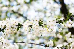 White bloom of sweet cherry Royalty Free Stock Photo