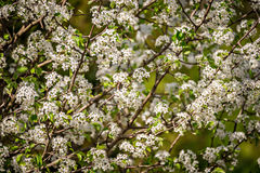 White bloom on trees during spring time Royalty Free Stock Image