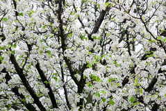 White blooming apple tree Royalty Free Stock Image