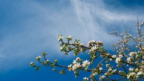 White blooming apple tree branch stock video