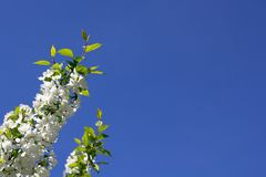 White blooming apple trees stock photo