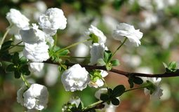 White Blooming Baby`s Breath. Baby`s breath or baby breath or babies breath bush, shrub with white blooms or blossoms Stock Photos
