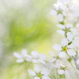 White blooming blossoms in spring Royalty Free Stock Images