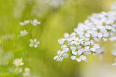White blooming blossoms in spring Stock Photography