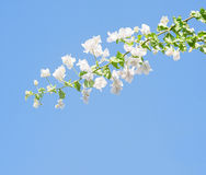 White blooming bougainvilleas. Royalty Free Stock Photo