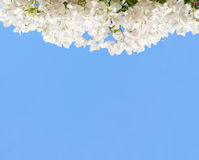 White blooming bougainvilleas Royalty Free Stock Photography