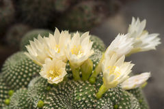 White blooming cactus Royalty Free Stock Photos