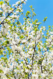 White blooming cherry tree crown and blue sky Royalty Free Stock Photography