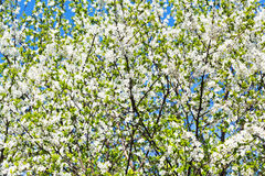 White blooming cherry tree crown Royalty Free Stock Image