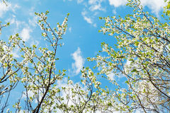 White blooming cherry trees on blue sk Stock Photo