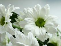 White blooming chrysanthemums. White blooming chrysanthemums flowers spring nature gift Stock Image