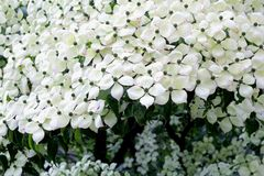 White flowers blooming Dogwood tree close up Royalty Free Stock Image