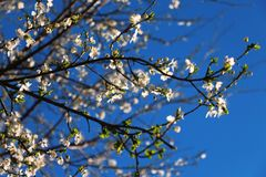 White blossom on blue sky royalty free stock images