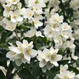 White blooming flowers close up Stock Photography