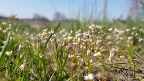 White blooming flowers in light breeze. Sunny day. It rains in sunny day. Low angle. Sunshine. Sunrise. Shallow depth of field. Dynamic scene, 4k video stock footage