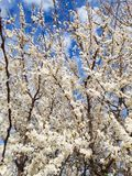White Blooming Flowers Of A Tree In Bloom In Spring stock photo