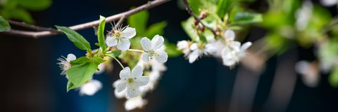White blooming fruit tree royalty free stock photo