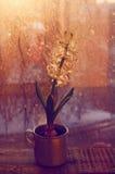 White blooming hyacinth flower in vintage metal cup Royalty Free Stock Images