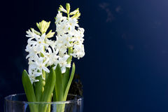 White blooming hyacinths in vase of glass Royalty Free Stock Images