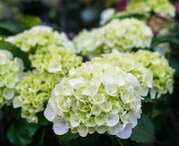 White blooming Hydrangea plants Royalty Free Stock Photo