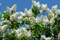 White blooming lilac. In springtime Stock Photography