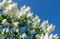 White blooming lilac Stock Photo