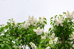 White blooming lilac Royalty Free Stock Photos